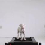 ルームランナーを歩く子犬が徐々に成長していく6ヶ月間の記録動画