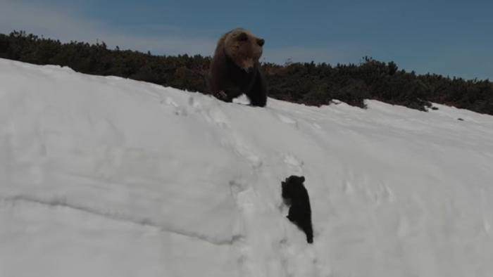 雪の崖を登るクマの親子