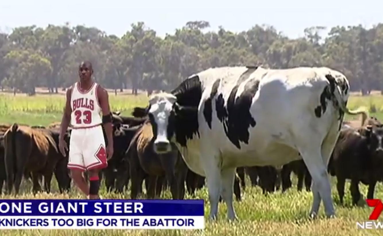オーストラリアの巨大牛