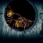 巨大な「殺人スズメバチ」がワシントンで発見される、米国での影響は?