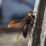 「殺人スズメバチ」によりスペインで男性死亡、昆虫学者が懸念すること