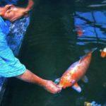 推定年齢226歳まで生きた錦鯉「花子」ギネス世界記録いまだ破られず