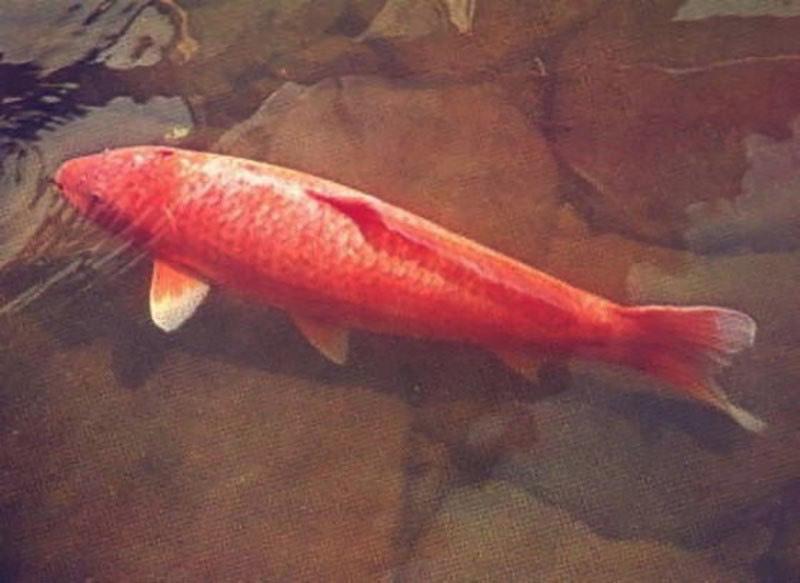 世界一長生きした錦鯉の花子